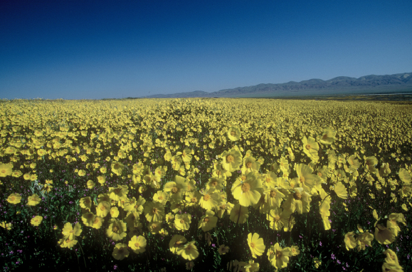 A carpet of tickseed coreopsis blankets the Carrizo Plain National Monument from Soda Lake to the Temblor Mountains
